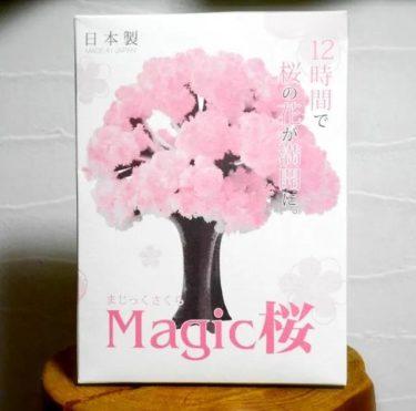 マジック桜。。。