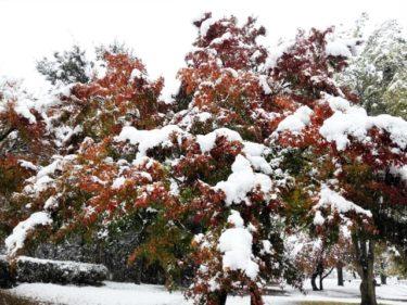雪紅葉。。。