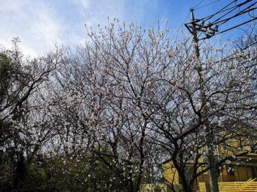 早咲き桜。。。